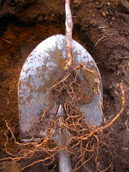 bare-root tree