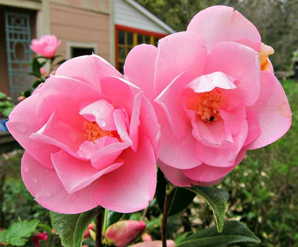 taylors pink perfection camellia times two