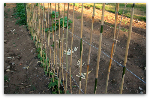 Green Bean Trellis - Pole Beans Need Your Support