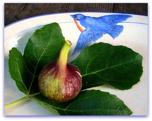 Vern's Brown Turkey Fig