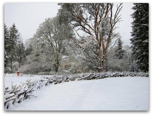 Vashon Snow Day - madrona fence