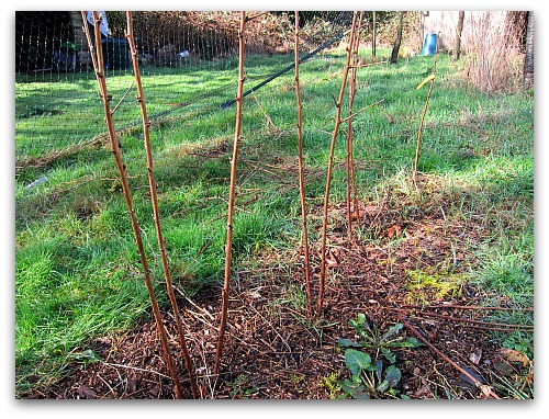 pruning raspberries made easy