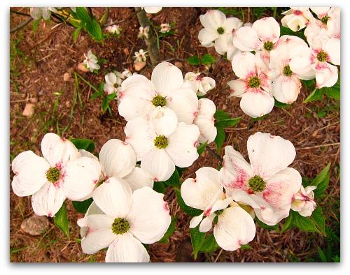 Dogwood blossoms Cloud 9