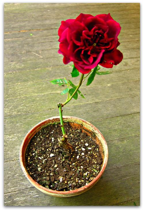 red rose in a pot