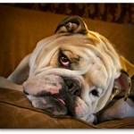 Boz the bulldog