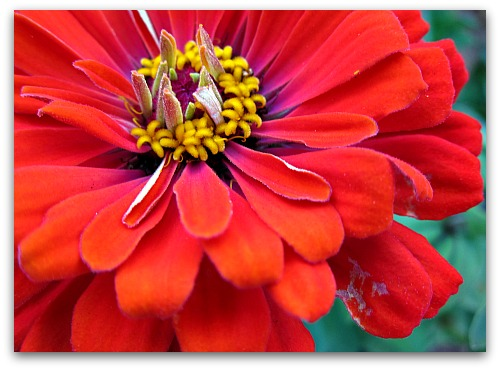 one hot colored zinnia