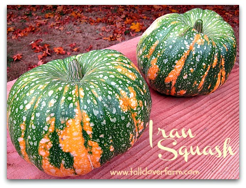 ornamental winter squash