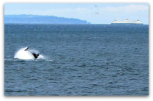 Orcas at play in Puget Sound