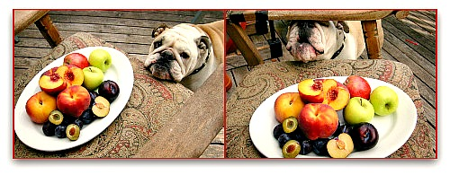 fruit-loving-bulldog