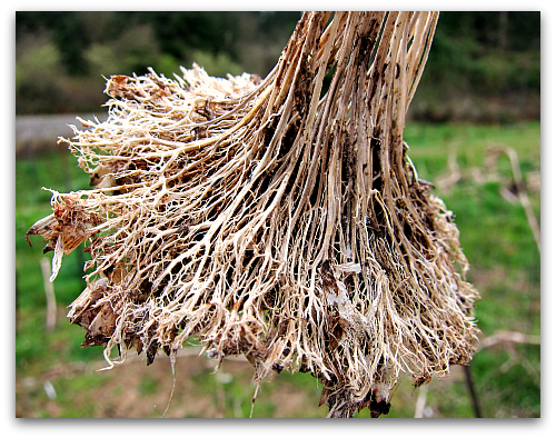 weathered sunflower seed head