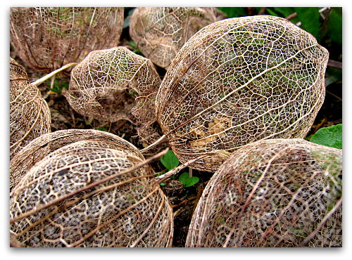 lace structure of a tomatillo husk