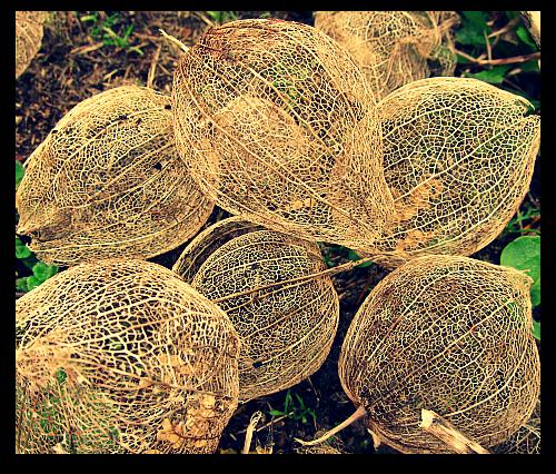 garden photos tomatillo husks dried flowers