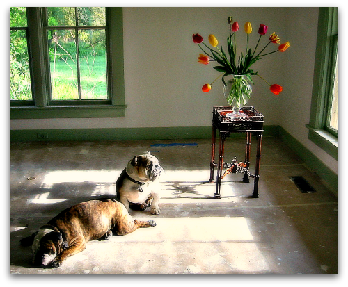 Tulips Vermeer Bulldogs Boz and Gracie