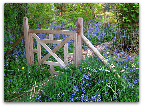 wood garden gate bluebells