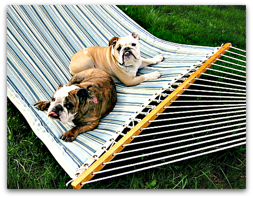 two bulldogs in a hammock boz and gracie