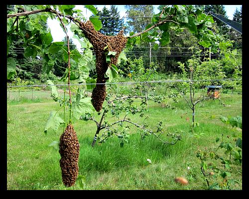 honeybees swarm in the vineyard
