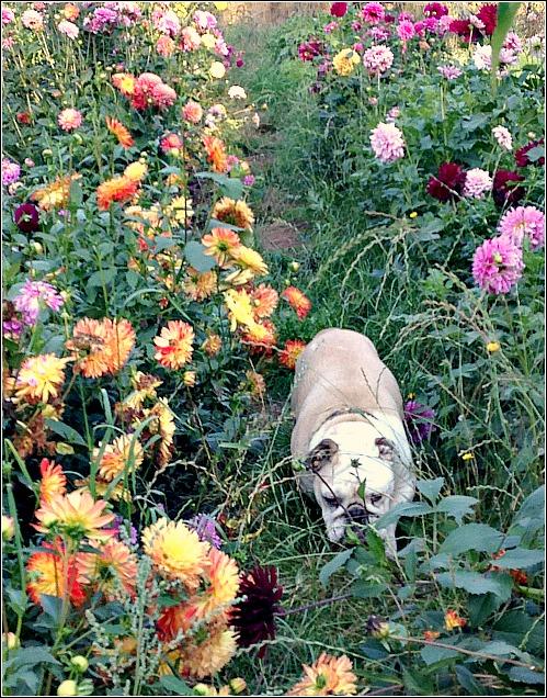 bulldog in the dahlias