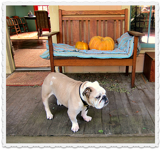 Boz the bulldog and the pumpkins