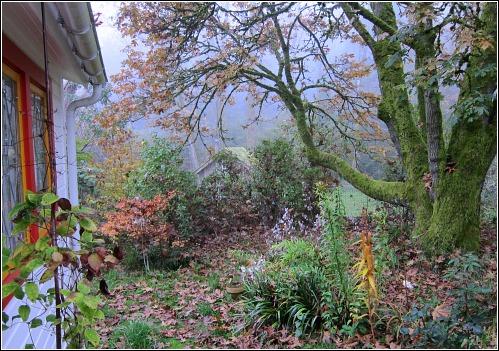 bigleaf maple foggy day vashon