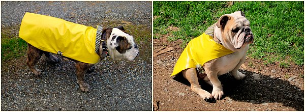 bulldog raincoats