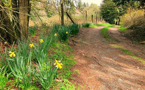 country land blooming daffodils