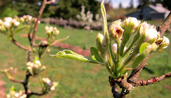 close-up pear blossoms
