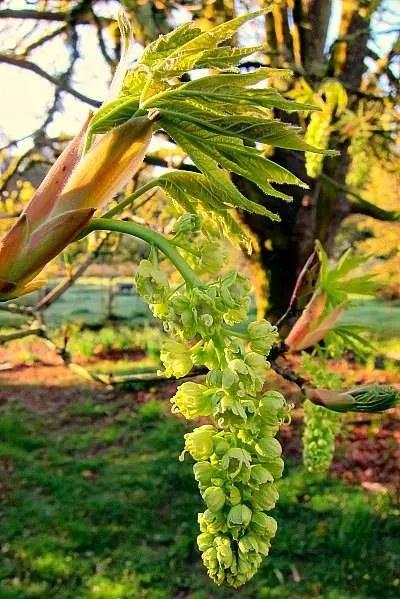 Big leaf maple flower