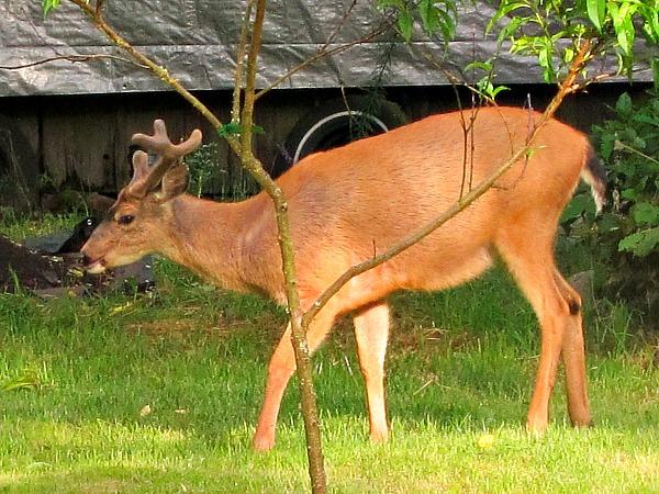 Liquid Fence: Defending Your Garden Against Deer