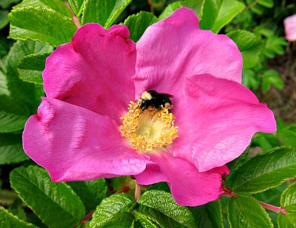 plants for pollinators rugosa rose bumblebee