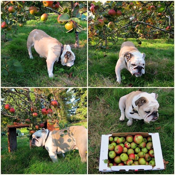 English bulldog Boz in the apple orchard