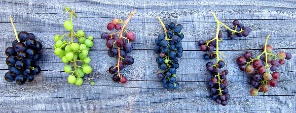 comparative grape study