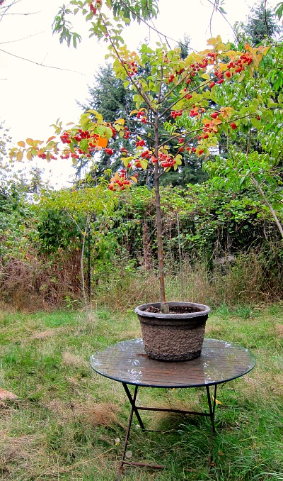 Potted crabapple: backyard centerpiece