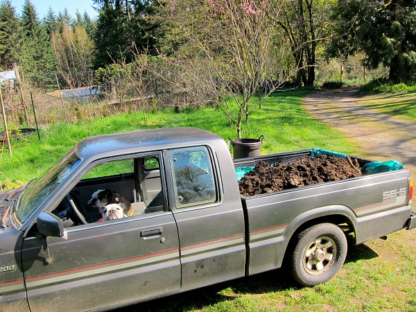 Little Gray reluctantly agreed to hauling manure, but only if I lined the bed with a tarp.