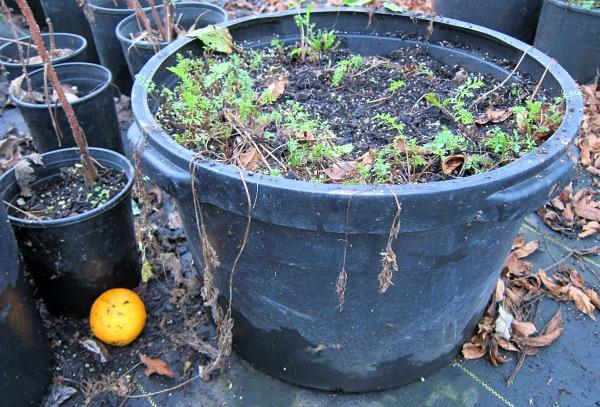 easy as growing carrots in a barrel