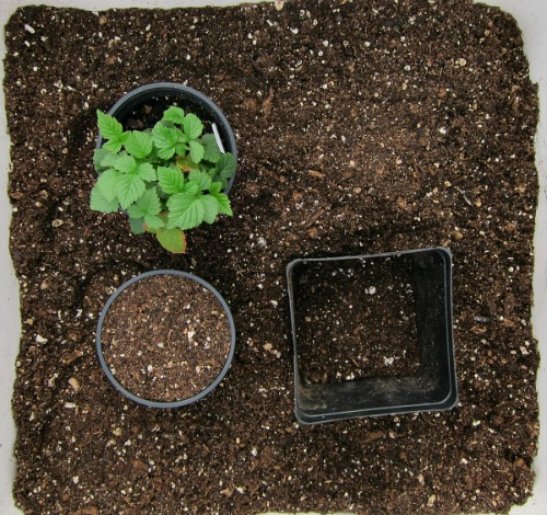 repotting plant tayberry 1