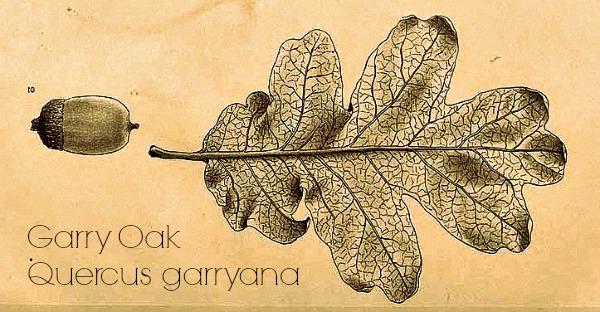 Greene, E.L., Illustrations of West American oaks, t. 36, fig. 1 (1889-1890) [G. Hansen]