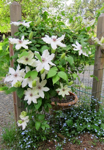 "Clematis ""Fragrant Star"" shares the stage with volunteer forget-me-nots"