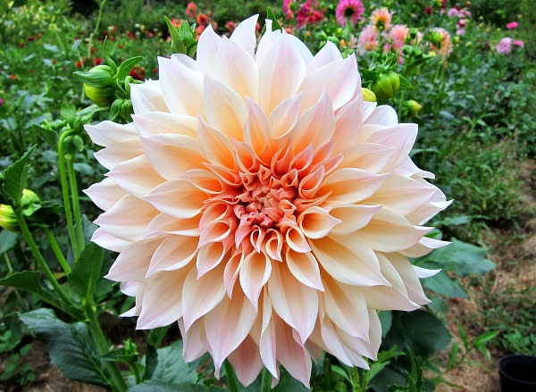 cafe au lait dahlia big bloom
