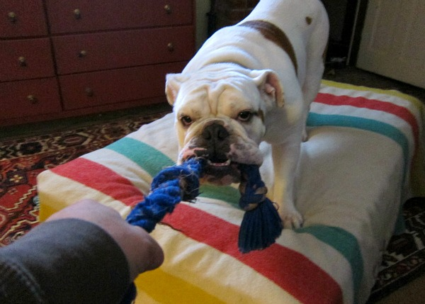 bulldog tug a war with Buddy