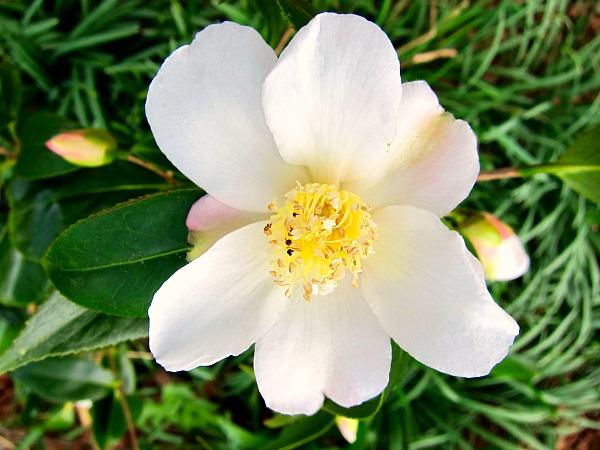 """spring flowers camellia """"apple blossom"""""""