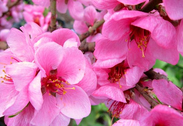 spring peach blossoms