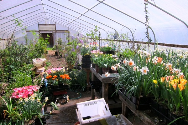 greenhouse tulips