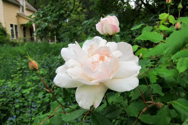 Madame Alfred Carriere Rose