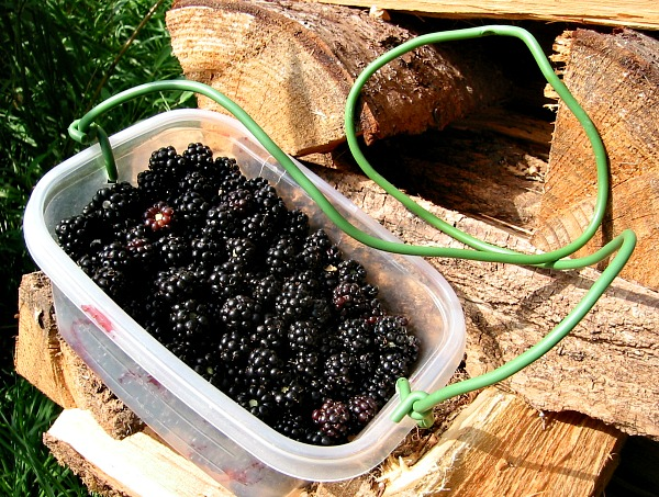 berry picking bucket with blackberries