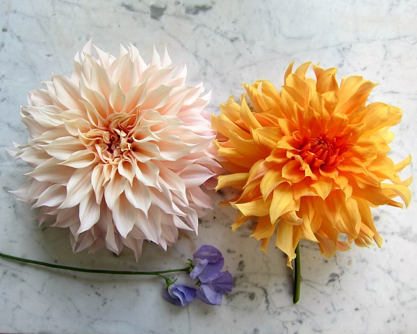dinnerplate dahlias cafe au lait big brother