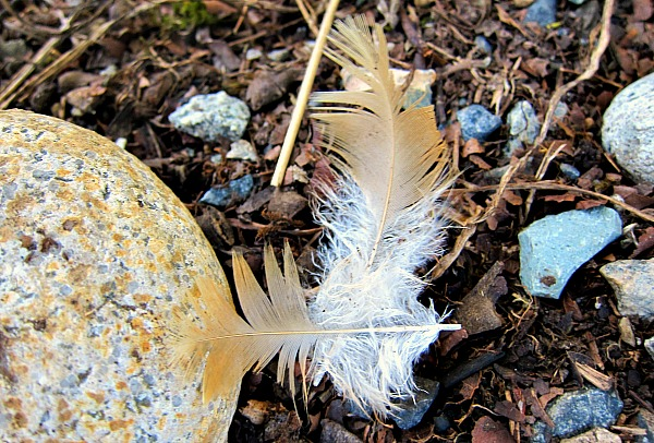 buff orpington feathers