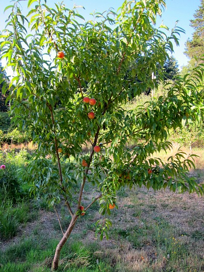nanaimo peach tree