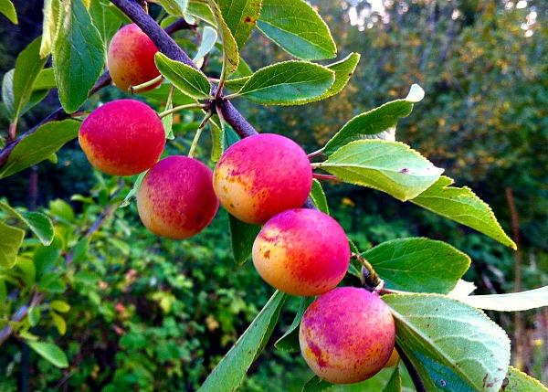 mirabelle plum branch