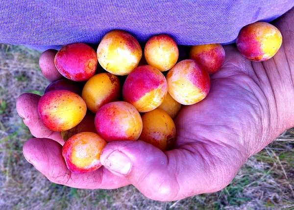 mirabelle plums handful