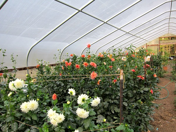 greenhouse dahlias